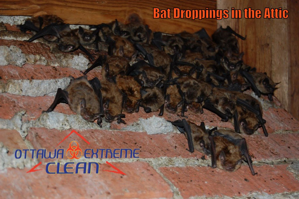 Wildlife And Animal Waste Removal Ottawa Extreme Clean
